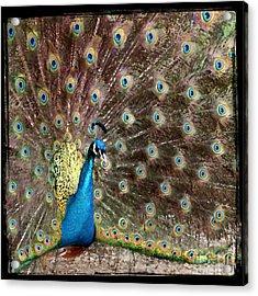 Peacock Acrylic Print by Leslie Hunziker