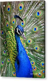 Peacock On Display Acrylic Print