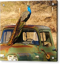 Peacock On Old Gmc Truck 3 Acrylic Print
