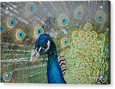 Acrylic Print featuring the photograph Peacock Portrait by Laurel Best