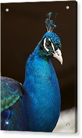 Peacock Posing For The Camera Acrylic Print