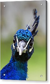 Peacock Stare Down Acrylic Print by Ross G Strachan