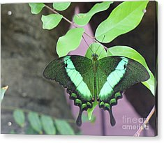 Acrylic Print featuring the photograph Peacock Swallowtail by Lingfai Leung