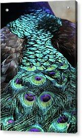 Peacock Trail Acrylic Print