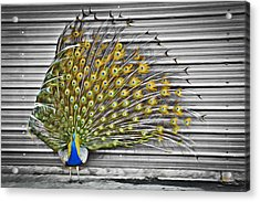 Acrylic Print featuring the photograph Peacock by Williams-Cairns Photography LLC