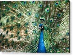 Peacocking Acrylic Print