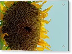 Peak A Boo Sunflower Acrylic Print