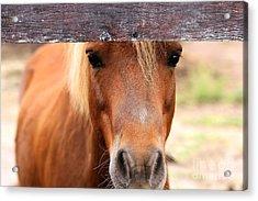 Peaking Pony Acrylic Print