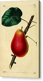 Pear 1829 Acrylic Print by Philip Ralley