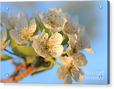Acrylic Print featuring the photograph Pear Blossom 3 by Rebeka Dove