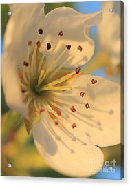 Pear Blossom Acrylic Print by Rebeka Dove