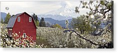 Pear Tree Orchard In Hood River Oregon Acrylic Print