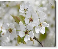 Pear Tree White Flower Blossoms Acrylic Print by Jennie Marie Schell