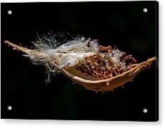 Pearl Milkweed Pod Split Open Acrylic Print