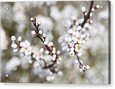 Pearls Of Blackthorn Acrylic Print