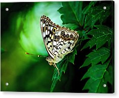 Pearly-eye Butterfly Acrylic Print by Ed Roberts