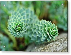 Pearly Succulents Acrylic Print