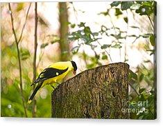 Pecking Away Acrylic Print by Judy Kay