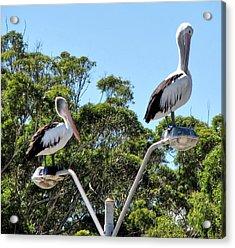 Pecking Order Acrylic Print