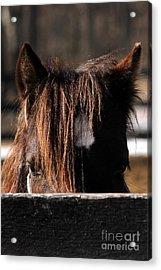 Peek-a-boo Pony Acrylic Print