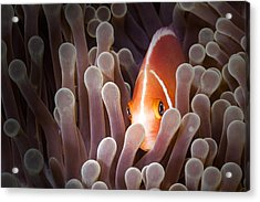 Peeking Anemone Fish Acrylic Print