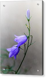 Blue Bells Peeking Through The Mist Acrylic Print