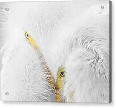 Peering Thru Feathers Acrylic Print by Dawn Currie