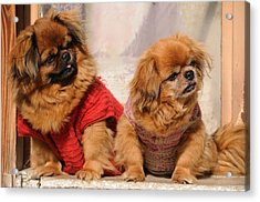 Acrylic Print featuring the photograph Pekingese Pair by Jeremy Voisey