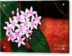 Pelargonium Graveolens II Acrylic Print by Floyd Menezes