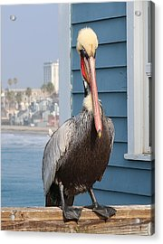 Pelican - 4 Acrylic Print by Christy Pooschke