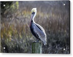 Pelican 04 Acrylic Print