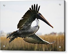 Pelican About Turn Acrylic Print by Paulette Thomas