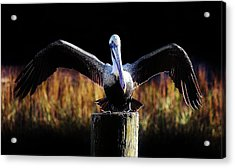 Pelican All Aglow Acrylic Print by Paulette Thomas