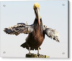 Pelican - All Fluffed Up Acrylic Print by Paulette Thomas