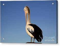 Pelican Alone Acrylic Print by Stephen Mitchell