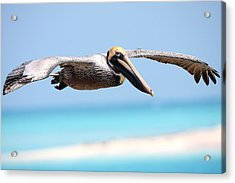 Pelican At Dry Tortugas National Park Acrylic Print by Jetson Nguyen
