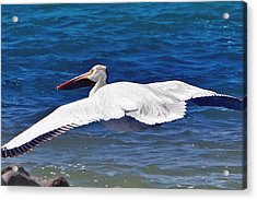 Acrylic Print featuring the photograph Pelican At Pyramid Lake by Lula Adams