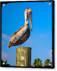 Acrylic Print featuring the photograph Pelican by Carsten Reisinger