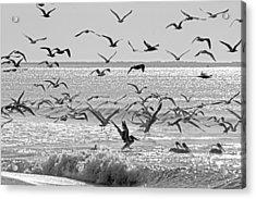 Pelican Chaos Acrylic Print