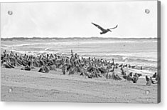 Pelican Convention  Acrylic Print