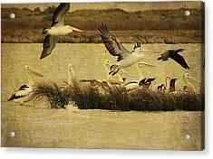 Pelican Days Acrylic Print