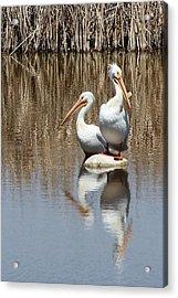 Pelican Deuce Acrylic Print by Diane Alexander