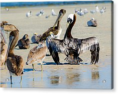 Pelican Drying Acrylic Print