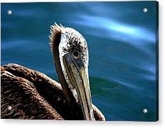Pelican Eyes Acrylic Print