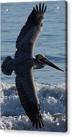 Pelican Flight Acrylic Print