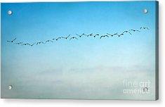 Pelican Flight Line Acrylic Print