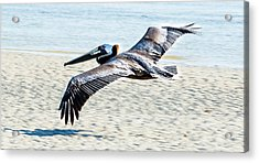 Pelican Flying Acrylic Print