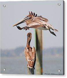 Pelican Flyover Acrylic Print