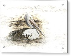 Acrylic Print featuring the photograph Pelican by Holly Kempe