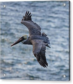 Acrylic Print featuring the photograph Pelican In Flight by Sonny Marcyan